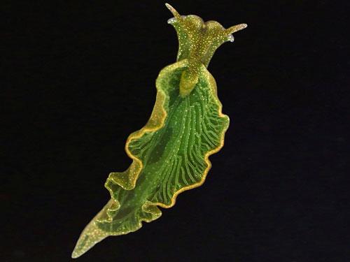 众所周知,光合作用是植物的专利,但自然界中也有很多动物直接