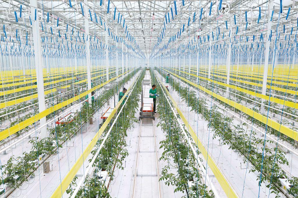 农业工人在管理新种植的番茄