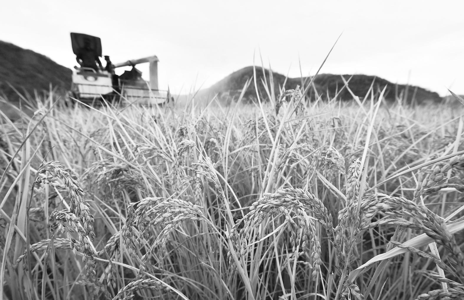 陕西延安南泥湾千亩水稻迎来收获